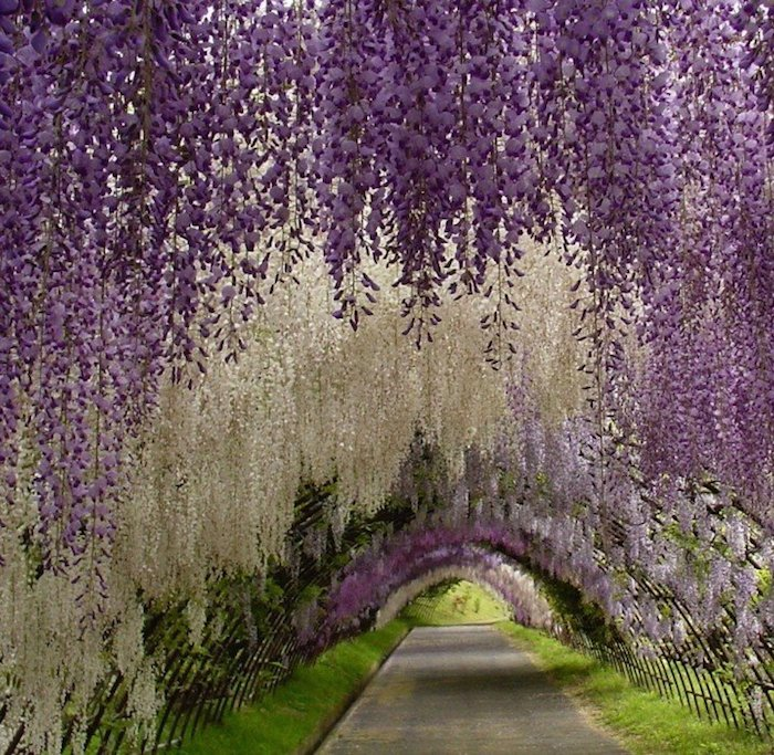 Japanese-Wisteria-Tunnel-2-718x701