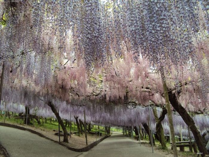 Japanese-Wisteria-Tunnel-6